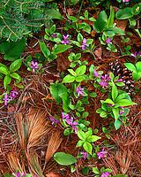 Gaywings (Polygala paucifolia) in bloom at Cheboygan State Park; Cheboygan County, MI