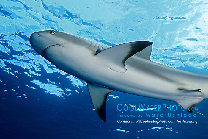 Caribbean reef shark, Carcharhinus perezi, West End, Bahamas, Atlantic Ocean