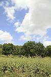 Israel, Lower Galilee, Oak trees in Alon Tavor by Israel Trail