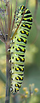 Brightly Colored Caterpillar, Black Swallowtail, Papilio polyxenes