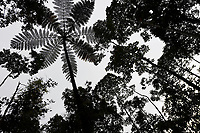 """Tree fern, Cyatheales sp. Montane rainforest, near FakFak, Mainland New Guinea, Western Papua, Indonesian controlled New Guinea, on the Science et Images """"Expedition Papua, in the footsteps of Wallace"""", by Iris Foundation"""