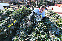 NWA Democrat-Gazette/J.T.WAMPLER Dusty Woodson of Siloam Springs cuts twine off of holiday trees Monday Nov. 25, 2019 while helping set up Wisconsin Tree Farms display at the Gator Golf parking lot in Fayetteville. Woodson is a firefighter in Siloam Springs and has worked setting up the trees for the last several years. Wisconsin Tree Farms has sold trees in Fayetteville for over thirty years. This year they brought balsam fir, Frazier fir, cannon fir and white pine trees. They plan on staying open until just before Christmas.