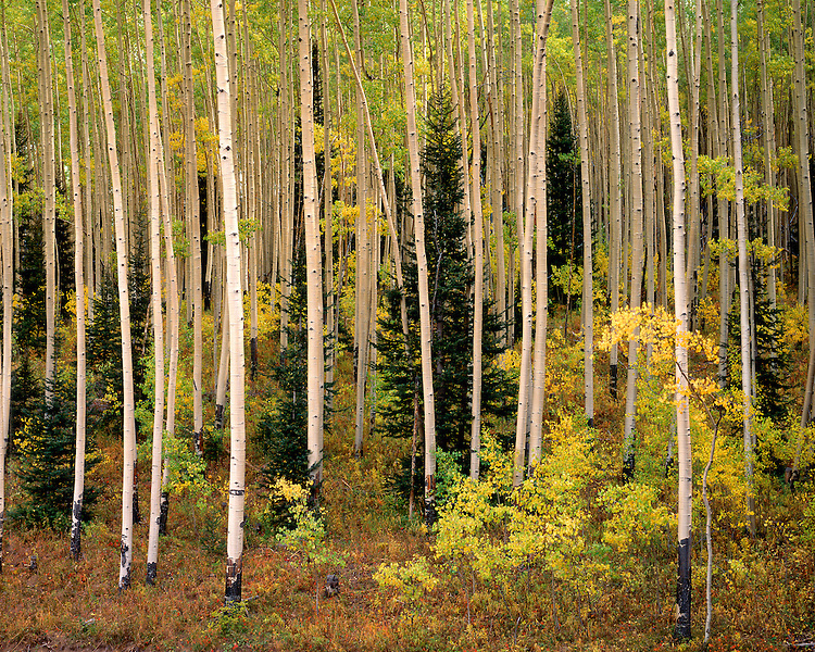 Grove of Aspen trees in fall color in the San Juan Range; Uncompahgre National Forest, CO