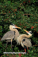 00684-04413 Great Blue Herons (Ardea herodias) Sarasota Co.   FL