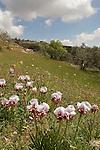 Aril Iris (Iris Samariae) blooming in Samaria