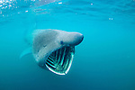 A Basking Shark feeding in Scotland