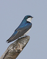 Tree swallow (Tachycineta bicolor) Adult perched on dead snag and showing its iridescent blue-green plumage.<br />