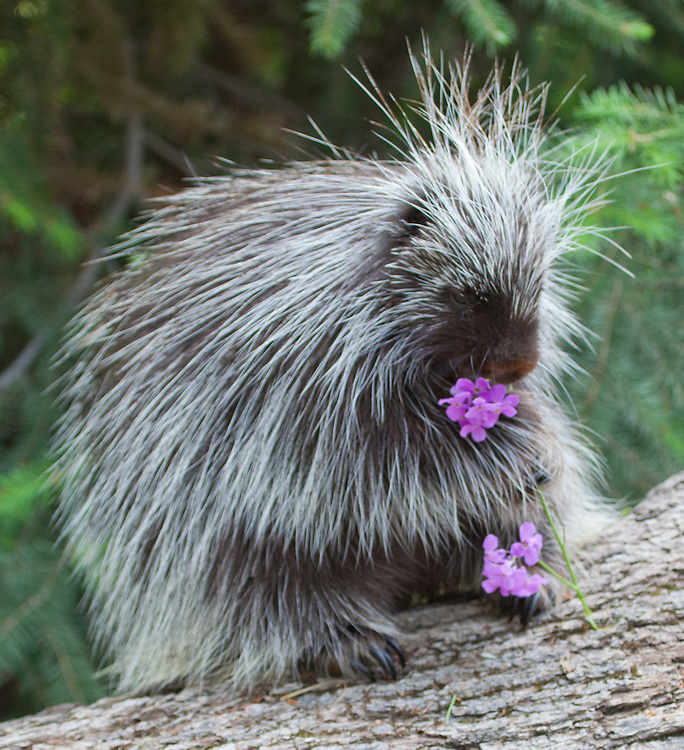Porcupine eating some wild flowers - CA