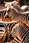 Herd of Common or Plains Zebras, Equus Burchelli, Africa, black and white stripes.Kenya....