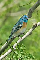 Lazuli Bunting - Passerina amoena - male