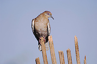 White-winged Dove, Zenaida asiatica, young on dead saguaro cactus,Tucson, Arizona, USA