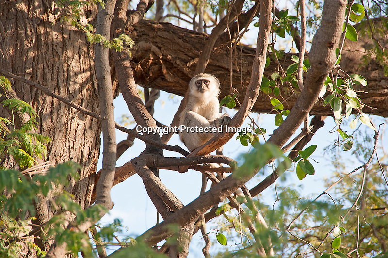 A Vervet Monkey in Tree Perch in Chobe National Park in Botswana in Africa