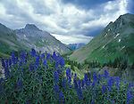 Yankee Boy Basin and blue Lupine wildflowers, Ouray, Colorado, USA.