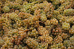 Vin du Lac Winery produces quality white wines like Pinot Gris, Pinot Blanc and Chardonnay. These grapes from their vineyard are ready for crushing during the October crush in the Lake Chelan Valley.