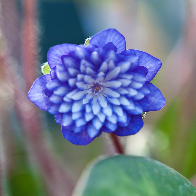 Anemone hepatica (Hepatica nobilis var. japonica 'Tensei').