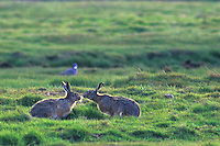 Haas (Lepus europeus). .