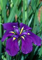 Japanese Iris , Iris ensata in bloom with purple flowers
