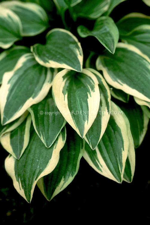 Hosta Little Wonder green with cream edges