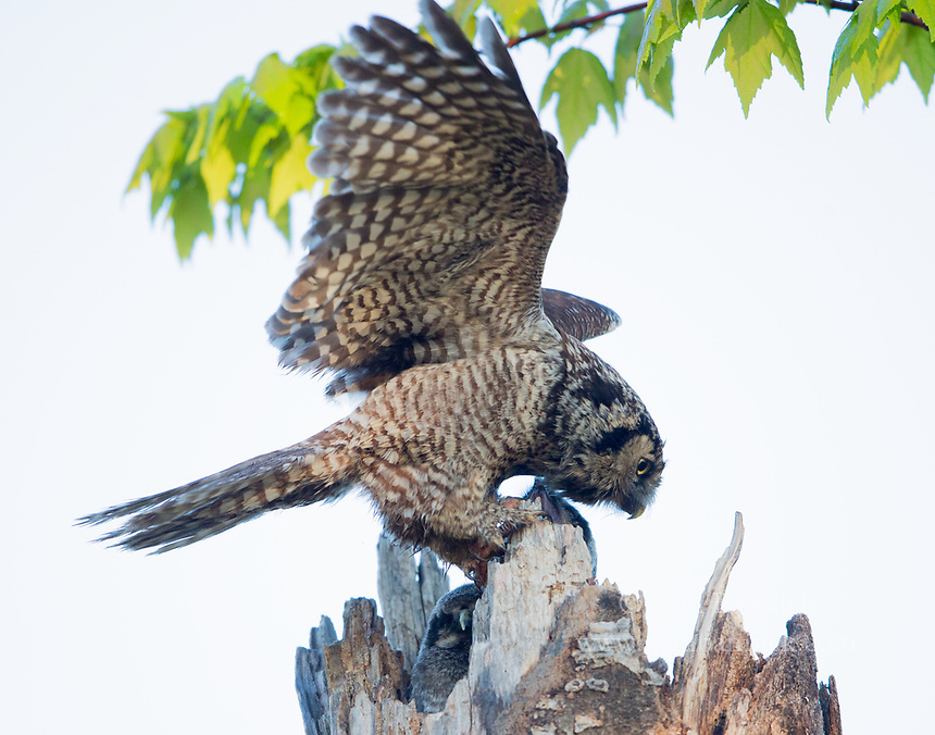 A female Northern Hawk Owl flaps on the lip of the nest after delivering prey to her young.
