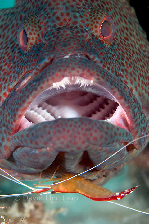 The cleaner shrimp, Lysmata amboinensis, is taking a close look for parasites on this coral grouper, Cephalopholis miniata.  Mabul Island, Malaysia.