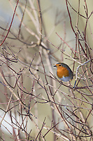 Rotkehlchen, Erithacus rubecula, robin, European robin, robin redbreast, Le Rouge-gorge familier
