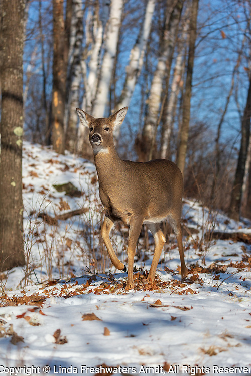 White-tailed doe foot stomping in a northern Wisconsin forest.