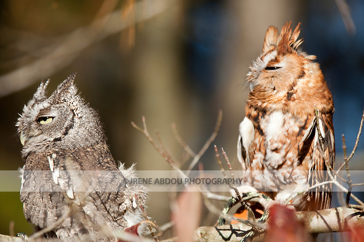 These eastern screech owls at the Pocomoke River State Park in Maryland are under the care of the National Park Service.