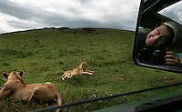 Randy Olson on assignment.  This is in the crater area of the NCA.  These lions eventually crawled under our car seeking shade.  You have to swat zebras on the butt to get them out of the way of the car.  This crater is way too crowded and Tanzania wants to triple tourism in the next ten years...  The Maasai were kicked out of Serengeti National Park.  Then they were kicked out of the crater which is now Tanzania's main tourist attraction. Now they feel like they are squatters on their land and might be kicked out of the NCA at any time. This family cannot cultivate much, can't buy a tractor, can't fence their land etc... etc... because they are in a multi-use area of the NCA.  So this family survives mostly on milk.  In 2001 the prime minister declared it illegal to cultivate in the NCA, but that didn't work.  But it is still illegal to use a tractor or hire someone to help in the garden or to use a plow.  The government is a kleptocracy as well as being afraid of putting in infrastructure that would lead to permanent settlements that would stop the migration..The NCA is a multi-use area and there are many people looking after conservation, but very few involved with social services.  The Maasai are caught in the middle.  Rules are incredibly strict in terms of cultivation, firewood and other basics of a pastoral existence.  There are six main communities in the NCA and only two have wells.  The Maasai in this area generally share their water supply with their animals and survive mostly on milk and porridge. ..The migration is like the wild west before they killed all the buffalo.  1.5 million wildebeest are like a train with 200 cars and each car dumps 20 tons of dung a day.  Fertilizer for the entire ecosystem.  Just the saliva from their mouths is enough to keep the grass hydrated...Contact info:.Peter Jones  347 968 6978 USA Mobile.255 744 293 387 TZ Mobile.His email: jones@habari.co.tz  or Ndarakwai@aol.com.http://www.tanzania-safari.com.www.ndarakwai.com.Phon