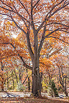 White oaks in the Arnold Arboretum, Boston, MA