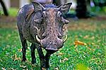 Animais. Mamiferos. Javali (Hylochoerus meinertzhageni).  Foto de João Caldas.