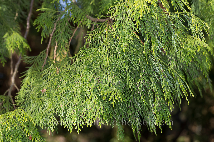 Japanischer Lebensbaum, Japan-Lebensbaum, Thuja standishii, Japanese Thuja, nezuko, kurobe, Le thuya du Japon