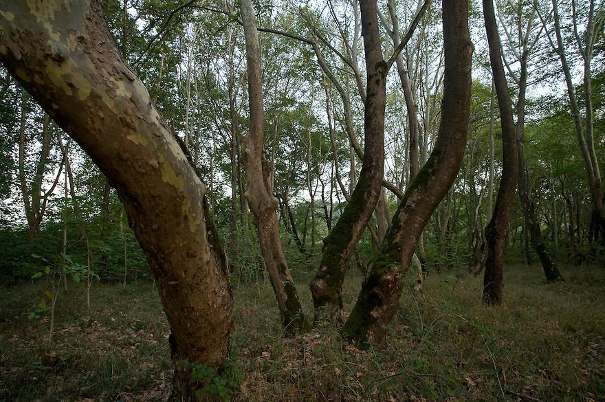 Greece, Meteora, Platan tree forest, Oriental Plane, (Platanus orientalis)