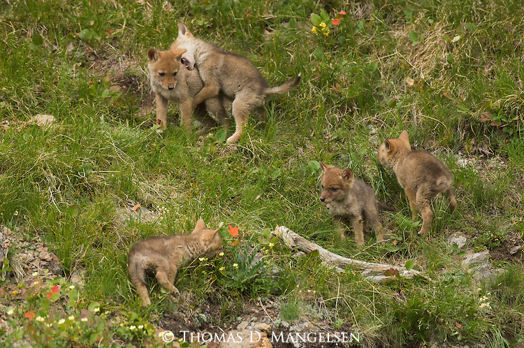 Five Coyote pups playing in Yellowstone National Park.