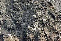 Dall sheep ewes and lambs climb along the rocky cliffs of the Brooks Range, Arctic, Alaska.