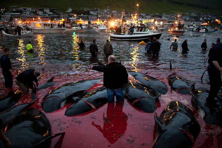 Dead pilot whales floats in the shallow water as a crowd of onlookers watches the rest of pod being brought in.  Even though the kill took place in the middle of the night, much of the town came out to watch and participate.
