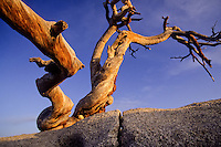 Dead tree at Glaciar Point in Yosemite National Park, California, USA