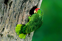 567780007c a wild red-crowned parrot amazonia viridigenalis perches at the entrance to its cavity nest in a large tree on a private ranch in tamaulipas state mexico