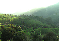 Lush green sloped hills of Munnar,Kerala.