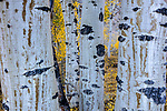 Quaking aspen grove (Populus tremuloides), Eastern Sierra, California, USA<br /> <br /> Canon EOS 5DS R, EF24-70mm f/4L IS USM lens, f/20 for .4 second, ISO 100