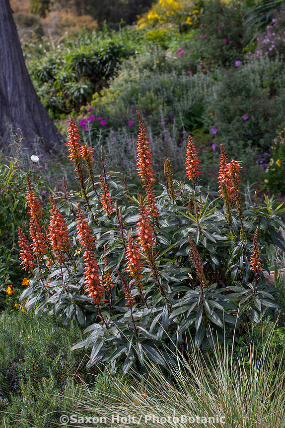 Isoplexis canariensis, Canary Island Foxglove, flowering summer-dry perennial in San Francisco Botanical Garden