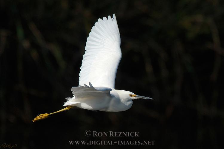 Snowy Egret in Flight Sepulveda Wildlife Refuge Southern California