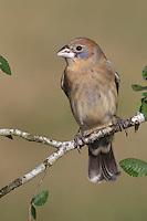 Blue Grosbeak - Passerina caerulea - Immature male