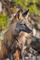 Cross fox in morning sunlight, Denali National Park, Interior, Alaska.