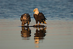 A pair of bald eagles stand in water in Homer, Alaska.