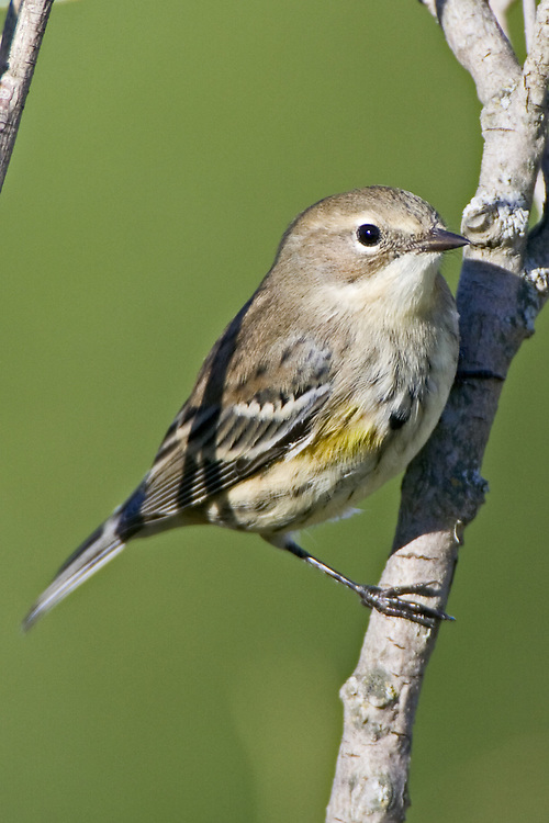 Female Yellow-rumped Warbler perched on a branch