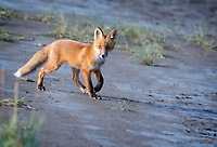 There was an explosion of voles in the Silver Salmon Creek area of Lake Clark National Park this year.  This Red Fox (Vulpes vulpes) kit was playing with its mother and siblings near their den.  We kept our distance from the den and tried to stay patient.  That patience was rewarded when this kit bolted down to the creek bank, in the clear and in the good light.