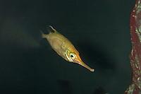 Schnepfenfisch, Schnepfen-Fisch, Macroramphosus scolopax, snipefish