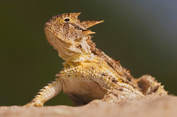 Texas Horned Lizard, Phrynosoma cornutum, adult, Willacy County, Rio Grande Valley, Texas, USA, June 2006