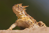 Texas Horned Lizard, Phrynosoma cornutum, adult, Willacy County, Rio Grande Valley, Texas, USA, June 2006