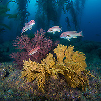 Several young California sheephead, Semicossyphus pulcher, meander among gorgonian corals and giant kelp at Shag Rock, Santa Barbara Island, Channel Islands, California, Pacific Ocean